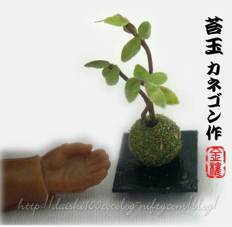 Kanegon_kokedama02