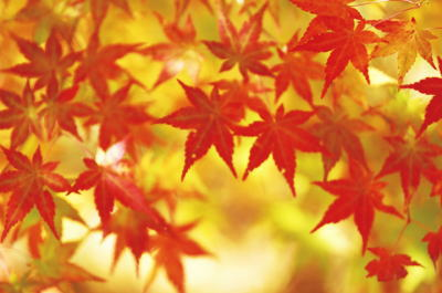 Image_red_leaves