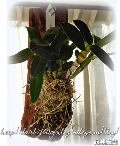 Dendrobium02