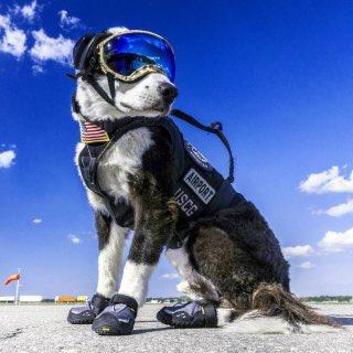 Military_dog